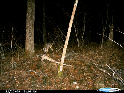 A lone Canis latrans is captured by a TBRC camera trap in Area X in the Ouachita Mountains of Arkansas and Oklahoma.