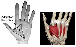 Figure 10. Adductor pollicis. This muscle appears to be absent in the sasquatch hand. Human genetic abnormalities related to the absence of thumb muscles are associated with mental retardation, spinal curvature, aphasia (diminished ability to communicate by any means) and a shuffling gait.