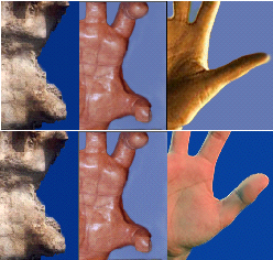 Figure 13. Thumb placement comparison. The human hands are shown with palm lengths adjusted to be similar to the sasquatch model (patterned after the Walla Walla cast, shown at left). The sasquatch thumb, relatively speaking, appears to be smaller than the human thumb, and the leading edge is located much closer to the wrist than in the human hand, where the leading edge is positioned at the midpoint of the palm.