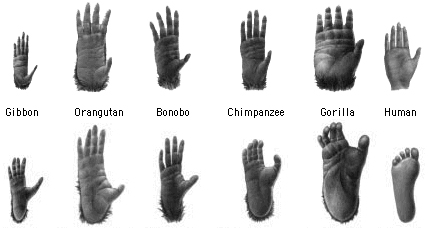 Figure 9. Comparison of hands (top row) and feet (from Linden 1992, Glickman 1998).