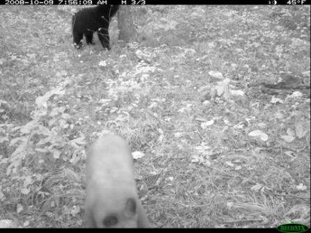 Figure 9. A blonde black bear plays in the foreground, while a darker black bear is occupied in the background.