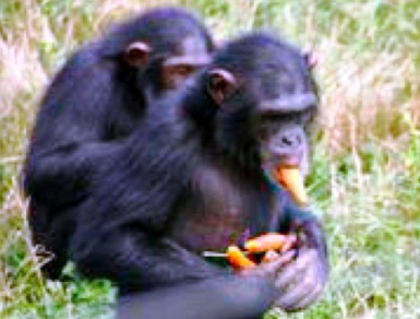 The diet of chimpanzees is highly varied and even includes meat.