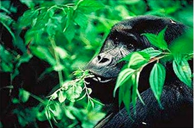 Gorillas, like most primates, eat a wide variety of foods.