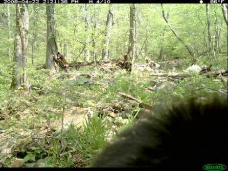 Figure 8. Photos showing just a bit of hair are common. Three bear cubs play in the background.