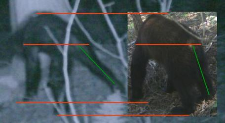Figure 10. A putative sasquatch on the left compared with an American black bear.