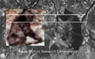 Figure 4. Head position of the Patterson-Gimlin film subject (inset) compared to the Oklahoma figure.